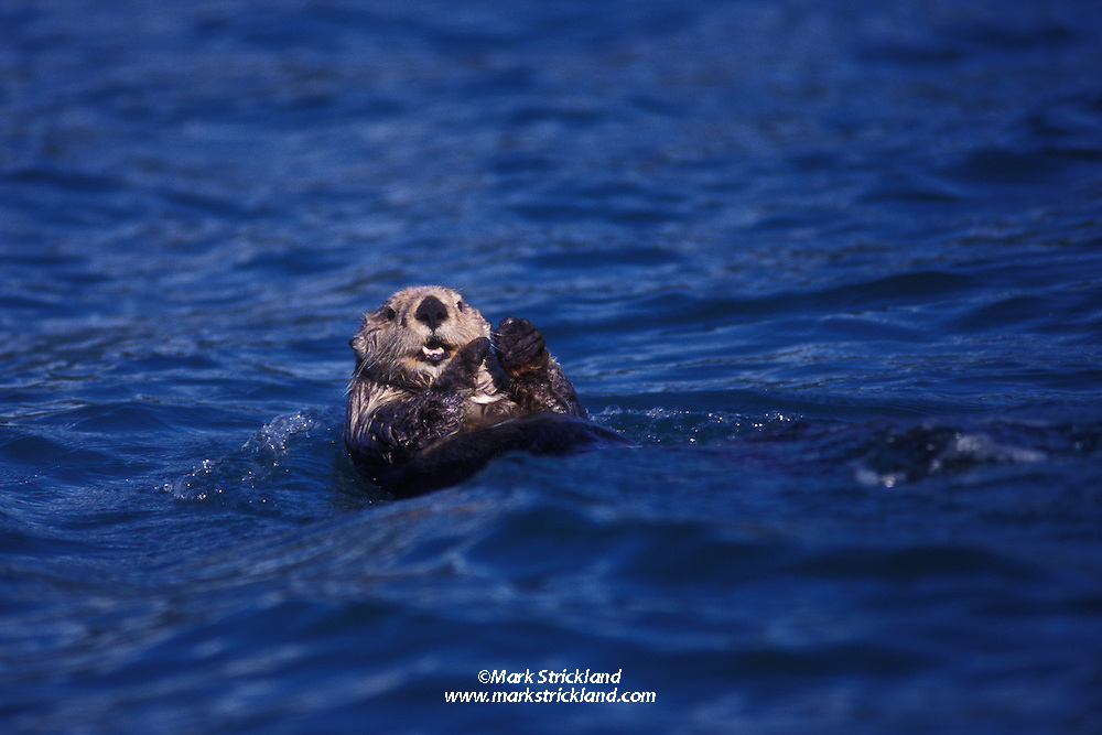 A Sea Otter, Enhydra lutris, checks its surroundings while backstroking across the waters of Prince William Sound, Pacific Ocean, Alaska
