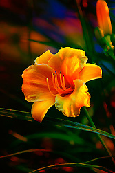 Daylily is the general nonscientific name of a species, hybrid or cultivar of the genus Hemerocallis. A normal, single daylily flower has three petals and three sepals, collectively called tepals, each with a midrib in the same or in a contrasting color. The centermost part of the flower, called the throat, usually has a different color than more distal areas of its tepals.