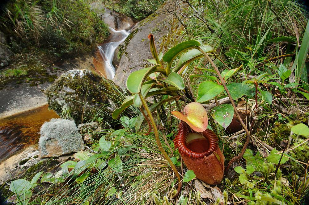 Nepenthes villosa, a high-altitude carnivorous pitcher plant endemic to Mount Kinabalu and Mount Tamboyukon. Sabah, Malaysia (Borneo).