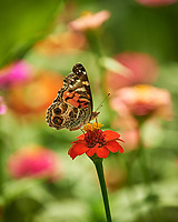 Painted Lady Butterfly feeding on a Zinnia Flower. Image taken with a Nikon Df camera and 70-300 mm VR lens