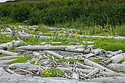 Beach Sunflowers scattered among driftwood at the McNeil River State Game Sanctuary on the Cook Inlet, Alaska. The remote site is accessed only with a special permit and is the world's largest seasonal population of brown bears in their natural environment.