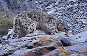 LADAKH, INDIA - DECEMBER 2: Adult male snow leopard feeds on dead male blue sheep during twilight.