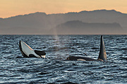 Orcas in the Southern Resident Killer Whale endangered J Pod play in the Salish Sea at sunset August 4, 2018 off Vancouver Island, British Columbia, Canada. J-Pod Orcas have suffered declines in numbers and health and will be part of a program to treat them with antibiotics to assist the struggling pod.