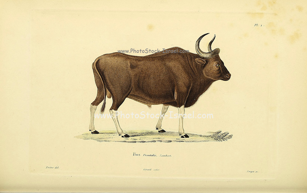 Gayal (Bos frontalis), also known as mithun in Myanmar, is a large domestic bovine distributed in Northeast India, Bangladesh, Myanmar and in Yunnan, China. From Souvenirs d'un voyage dans l'Inde exécuté de 1834 à 1839 (A voyage to India) by Delessert, Adolphe, published in Paris in 1843