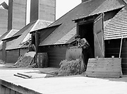 9969-2033. Scooping the dry hops out of the dryer into a car below. September 9, 1935.  Riverside Hop farm, owned by A.J. Ray and Son, Inc., Newberg, Oregon.