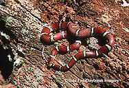 02834-001.10 (TF)  Red Milk Snake (Lampropeltis triangulum)    IL