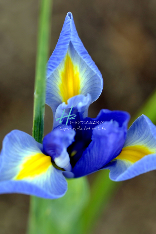 Subject: Dutch Iris (Iris xiphium).Habitat:  Habitats include wet to moist black soil prairies, sunny floodplains along rivers, edges of ponds and lakes, swamps, fens, bogs, ditches and low-lying ground along railroads and roadsides..Natuve to CA & Spain.Location:  Santa Barbara, CA.Magnification:  1/3X.