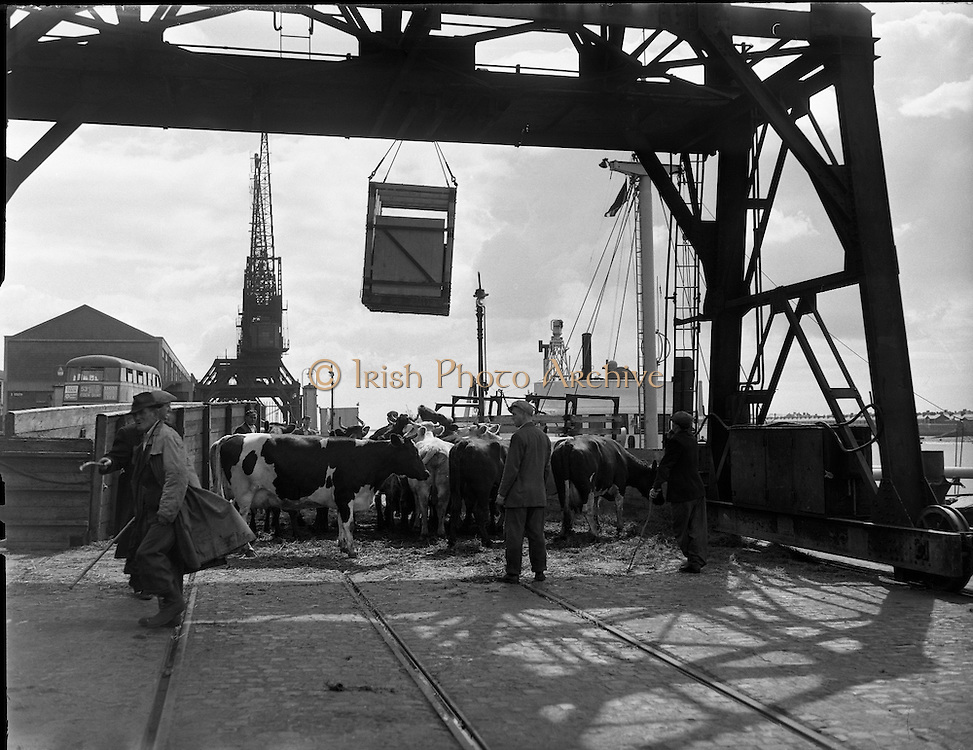 Livestock export at North Wall .23/07/1958. Farmers herd cattle on north wall Dublin before loading for export