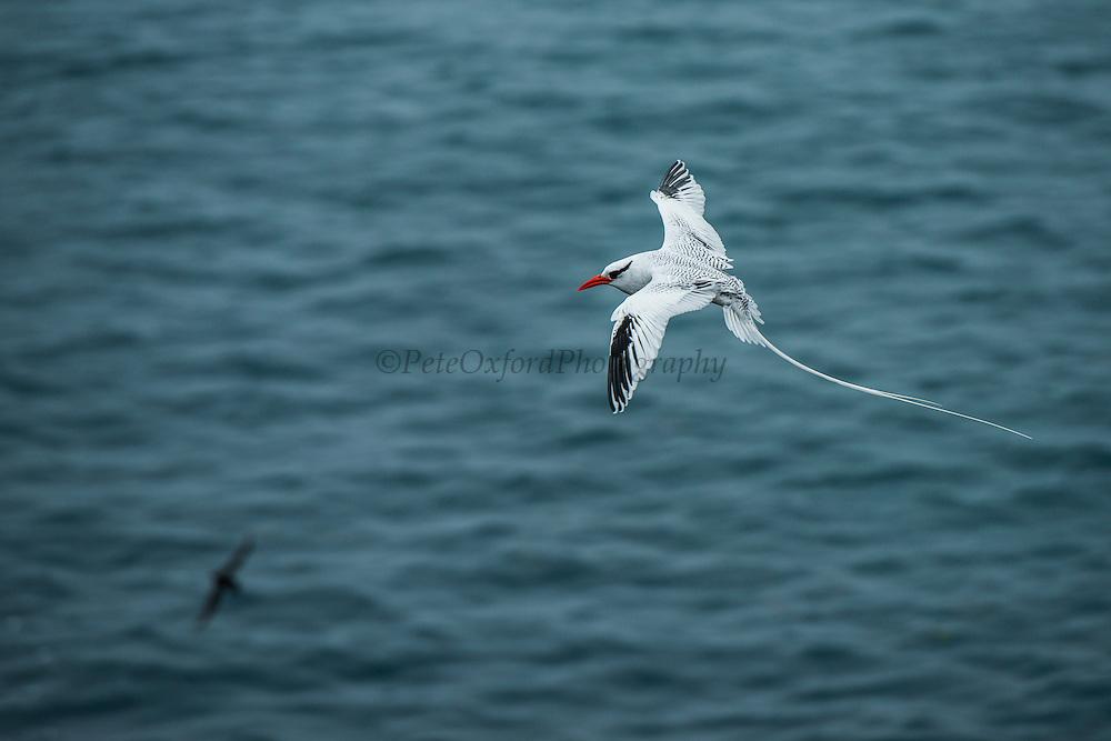 Red-billed tropicbird (Phaethon aethereus)<br /> South Plazas Island<br /> GALAPAGOS,  Ecuador, South America
