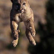 Mountain Lion or Cougar, (Felis concolor) Sub adult in airborne jump.  Captive Animal.