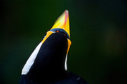 Nova Lima_MG, Brasil...Tucano-toco (ramphastos toco) no Parque Estadual Serra do Rola Moca...The Toco tucan (ramphastos toco) in the State Park Serra do Rola Moca...Foto: JOAO MARCOS ROSA / NITRO...Foto: JOAO MARCOS ROSA / AGENCIA NITRO.