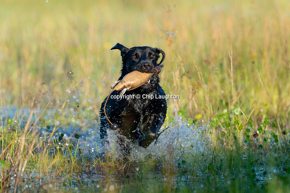 labrador retriever stock photo photography image