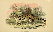 The Cape genet [Here as Blotched Genet] (Genetta tigrina), also known as the South African large-spotted genet, is a genet species endemic to South Africa. From the book ' A handbook to the carnivora : part 1 : cats, civets, and mongooses ' by Richard Lydekker, 1849-1915 Published in 1896 in London by E. Lloyd