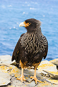 Striated Caracara, (Phalcoboenus australis), Sealion Island, Falkland Islands