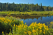 Goldenrod wildflowers (Solidago sp.) at edge of northern lake<br />Duck Mountain Provincial Park<br />Manitoba<br />Canada