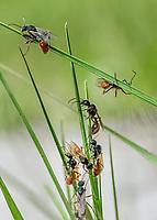 Pogonomyrmex badius - Florida harvester ant.  Photographed at Lady Lake, FL. USA