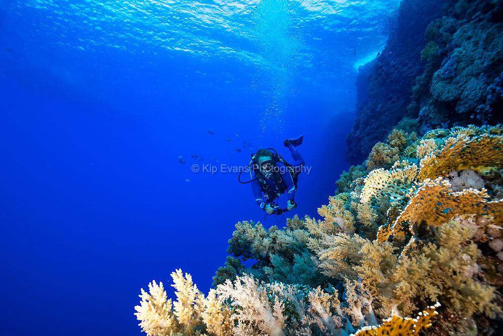 Diver exploring a wall in the Red Sea, Egypt.