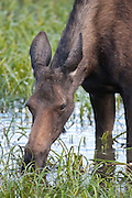 Cow moose in Yellowstone National Park