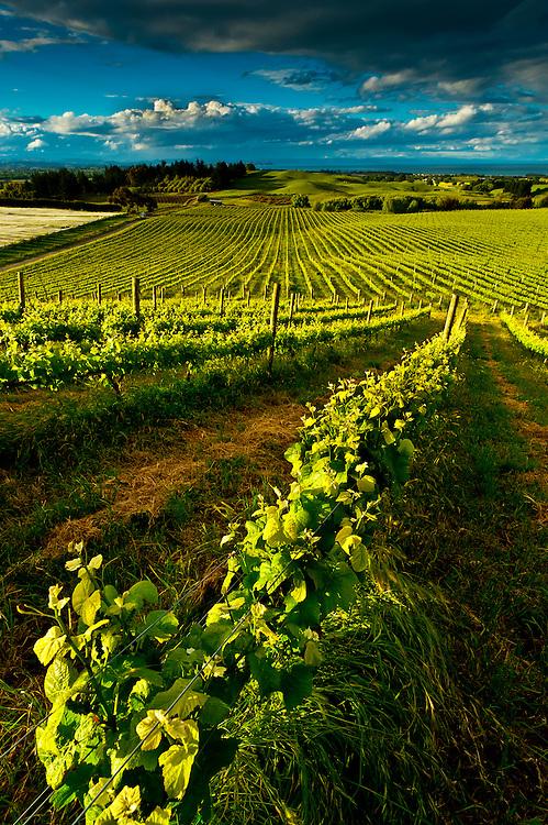 Vineyards, Millar Road Winery, Tuki Tuki Hills, near Napier, Hawkes Bay, North Island, New Zealand
