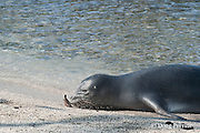 Hawaiian monk seal, Monachus schauinslandi( Critically Endangered ), 2.5 year old male, rolls an ambon toby or pufferfish, Canthigaster amboiensis, in the sand, probably to remove noxious mucus; the fish was caught in the ocean, then brought to shore to cleanse it before consumption; Pu'uhonua o Honaunau ( City of Refuge ) National Historical Park, Kona, Hawaii