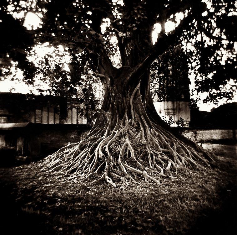 Bodhi Tree - Wat Si Sawai - Sukothai, Thailand