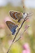 Pair of mating silver-studded blue butterflies (Plebejus argus) on heathland. Dorset, UK.