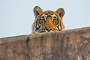 Portrait of a wild Bengal tiger laying on a stone gated fortress looking down, Ranthambore National Park, Rajasthan, India