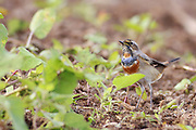The Bluethroat (Luscinia svecica) Photographed in Israel in October