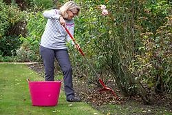Raking up fallen rose leaves to help prevent blackspot