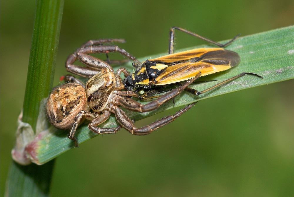 crab spider Xysticus cristatus<br /> with bug prey