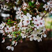 Cherry Blossom Blooms in Pyongtaek, South Korea