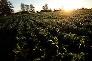 Patos de Minas_MG, Brasil...Plantacao de Milho em Patos de Minas, Minas Gerais...Maize plantation in Patos de Minas, Minas Gerais...Foto: LEO DRUMOND / NITRO