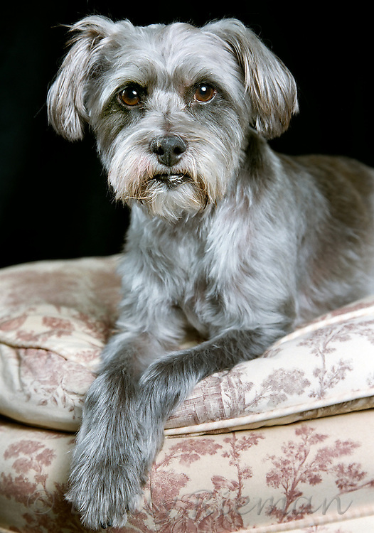 Grey dog posing in flowered furniture with crossed paws.
