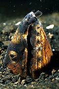 Black finned snake eel (Ophichthus melanochir) with cleaner shrimp