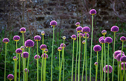 Allium 'Ambassador' growing in the trials bed at Parham House