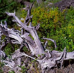 Dead Tree, Mt. St. Helens National Volcanic Monument, Washington, US