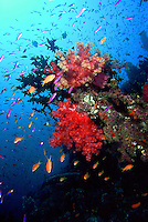 """A coral head with """"blooming"""" soft coral trees, Dendronepthia sp., shimmers with wolor as schooling anthias, Pseudanthias sp., swim about.  This image portrays the quintessential healthy coral reef landscape, in its full, vibrant, splendor.  Present are healthy hard and soft corals, swarms of fish, and countless unseen invertebrates.  Shot in the Eastern Fields region of Papua New Guinea."""