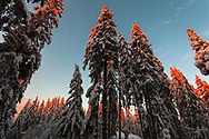 Snowy mountain forest at sunrise
