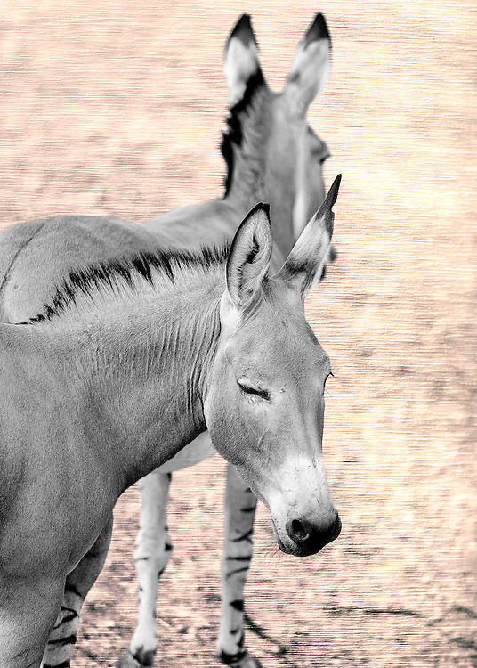 The donkey or ass, Equus africanus asinus, is a domesticated member of the Equidae or horse family. The wild ancestor of the donkey is the African wild ass, E. africanus. The donkey has been used as a working animal for at least 5000 years.