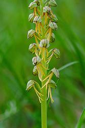 Poppenorchis, Orchis anthropophora