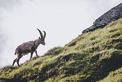 THEMENBILD - ein Steinbock in freier Wildbahn oberhalb der Franz Josefs Höhe . Die Hochalpenstrasse verbindet die beiden Bundeslaender Salzburg und Kaernten und ist als Erlebnisstrasse vorrangig von touristischer Bedeutung, aufgenommen am 25. Juni 2020 in Fusch a.d. Glstr., Österreich // a Wildlife Ibex near the Franz Josefs Hoehe. The High Alpine Road connects the two provinces of Salzburg and Carinthia and is as an adventure road priority of tourist interest, Fusch a.d. Glstr., Austria on 2020/06/25. EXPA Pictures © 2020, PhotoCredit: EXPA/ JFK