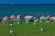 Ring-billed gull (Larus delawarensis)  on shore of Georgian Bay at Nottawasaga Bay<br />Meaford<br />Ontario<br />Canada