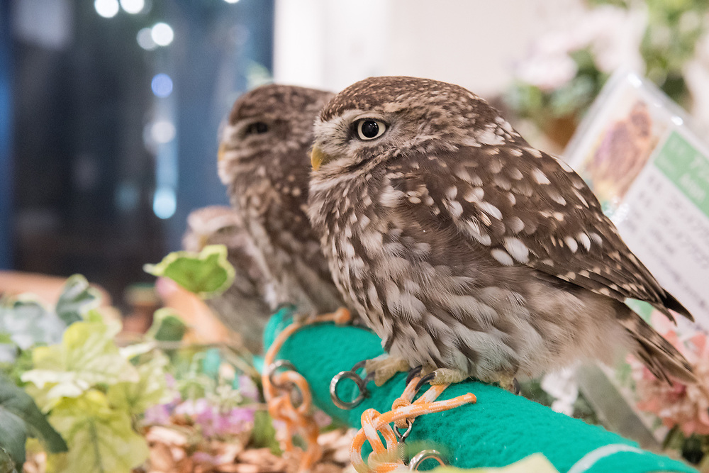 Owl cafe in Tokyo.