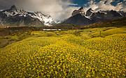 Cuernos del Paine peaks, thorny 'matabarrosa' ( Mulinum spinosum) in flower, Parque Nacional Torres del Paine, Patagonia, Chile.