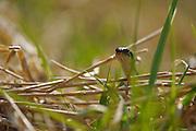 The Grass Snake, sometimes called the Ringed Snake or Water Snake (Natrix natrix) is a European non-venomous snake.   Die Ringelnatter (Natrix natrix), ist eine in mehreren Unterarten in großen Teilen Europas und Asiens sowie Nordafrikas beheimatete ungiftige Schlange, die zur Familie der Nattern (Colubridae) gehört.