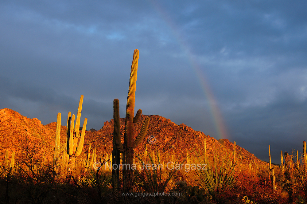 Saguaro cactus (Carnegiea gigantea) along Bajada Loop Drive in Saguaro National Park are wet after a winter rain in an El Nino year in the Sonoran Desert,Tucson, Arizona, USA.  The storm breaks at sunset.