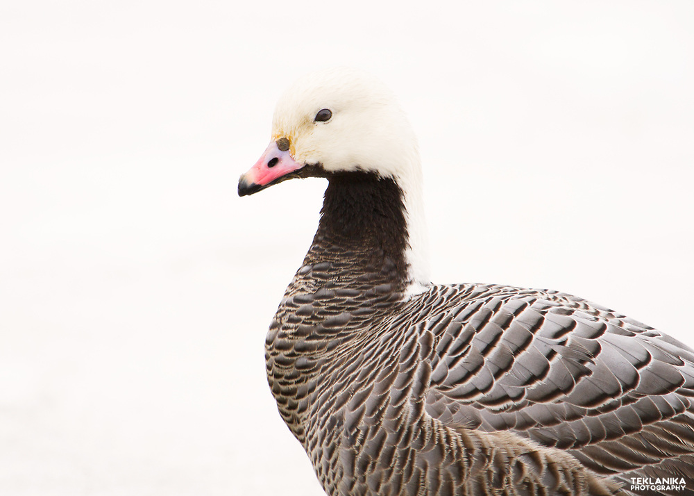 An emperor goose stands against a background of newly fallen snow.