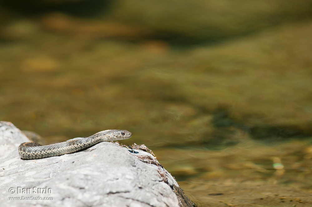 Aquatic garter snake, Thamnophis atratus, on a rock in the South Fork of the Eel River, Mendocino County, California. This individual is most likely an intergrade between Thamnophis atratus atratus and Thamnophis atratus hydrophilus.