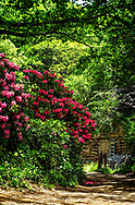 A scene from early summer, down a dirt road in Appalachia with Rhododendrons in full bloom, with an old decrepit shed in the background.