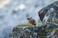 """Mouse-like in appearance, the American pika is a relative of rabbits and hares and is not a rodent. This one on Mount Rainier remained alert with the occasional surprisingly loud bark that is meant as an """"intruder alert"""" alarm for other members of the colony. At least two different individuals were taking turns as I wound my way through the rocky trail across their home territory."""